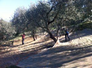 Raccolta delle olive